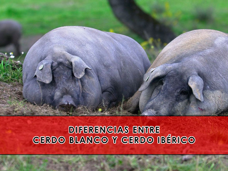 Diferencias entre cerdo blanco e ibérico